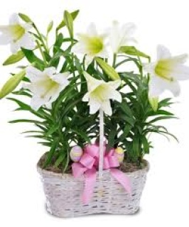 Blooming Easter Lily in double basket